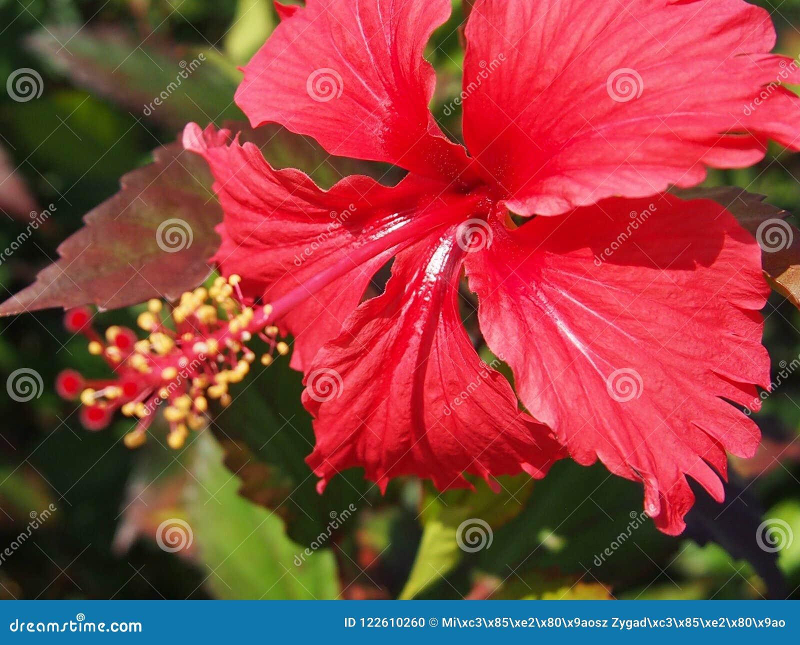 红色木槿花在夏天