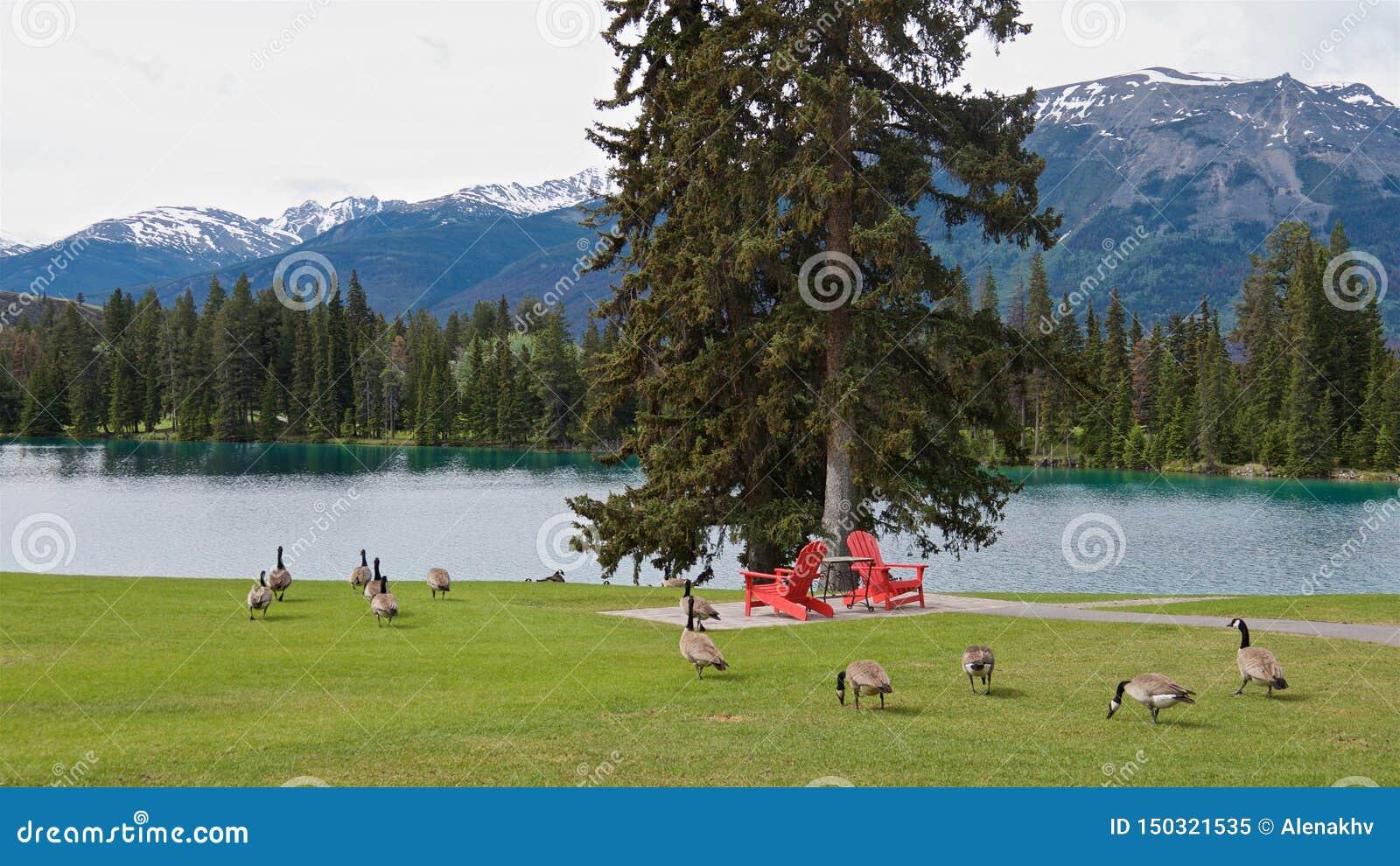 红色椅子和野生鹅全景在一个绿色领域在干净的蓝色湖岸
