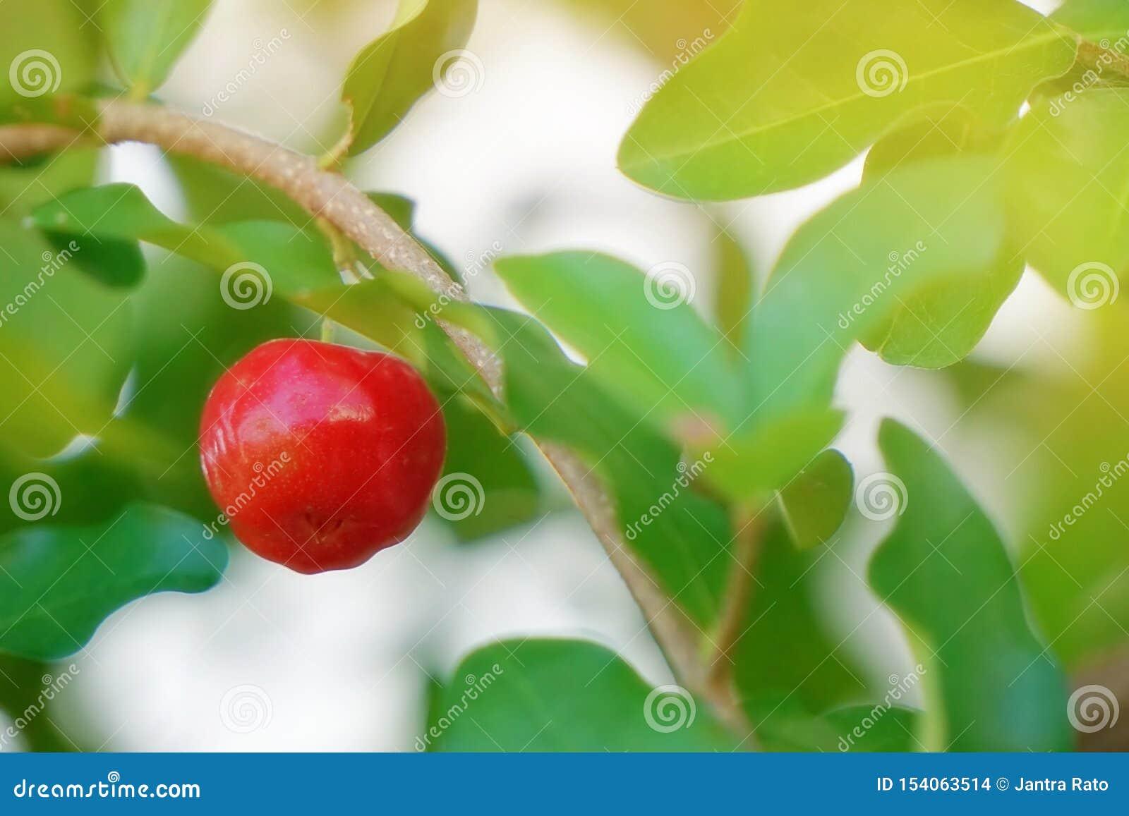 红色樱桃,在棕色分支和绿色叶子