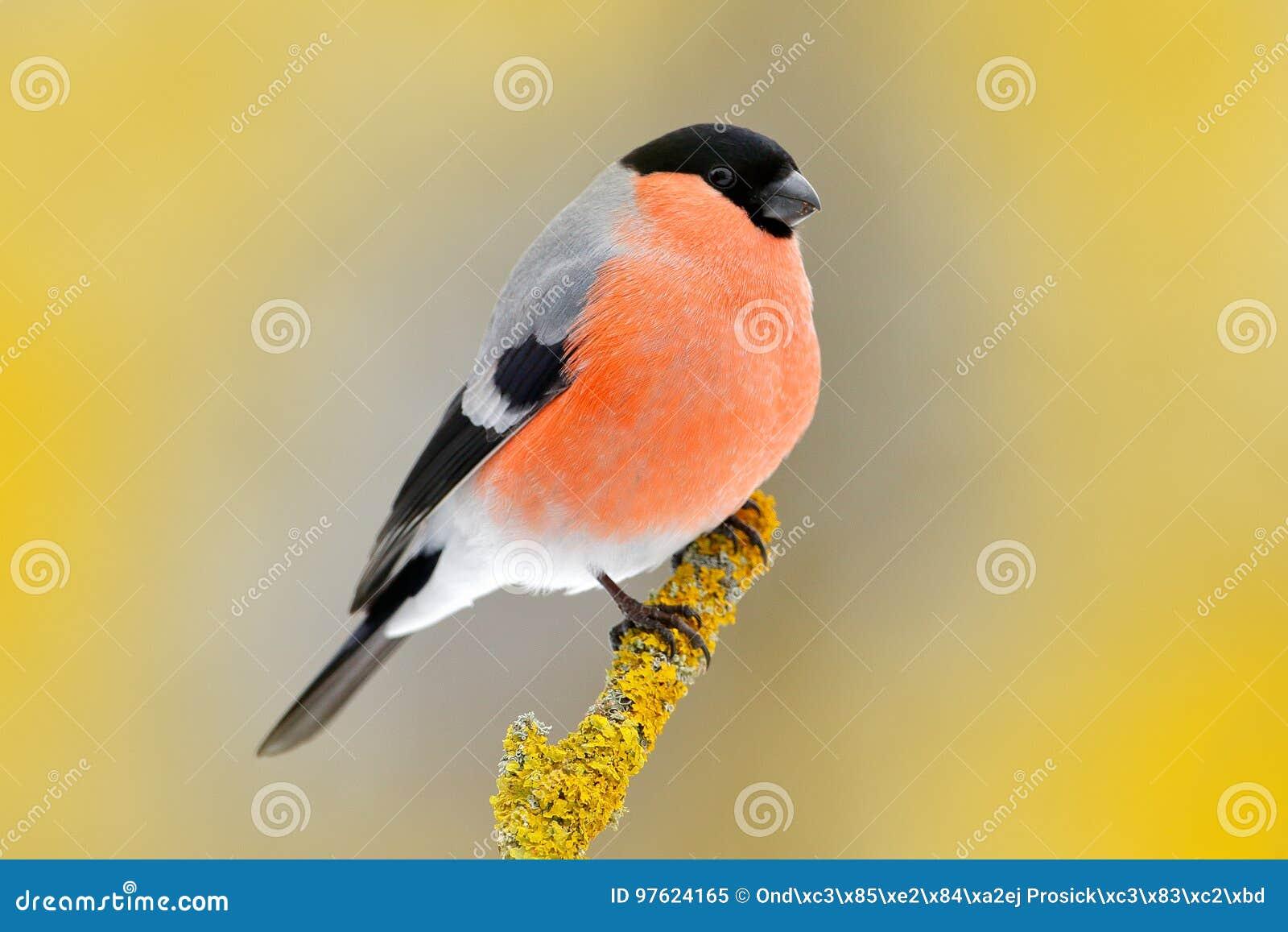 红色歌手红腹灰雀坐黄色地衣分支, Sumava,捷克共和国 从自然的野生生物场面 红腹灰雀在森林, y里