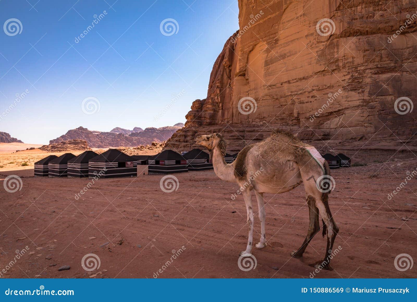 红色沙子沙漠和骆驼晴朗的夏日在瓦地伦,约旦 中东联合国科教文组织世界遗产名录选址和叫作