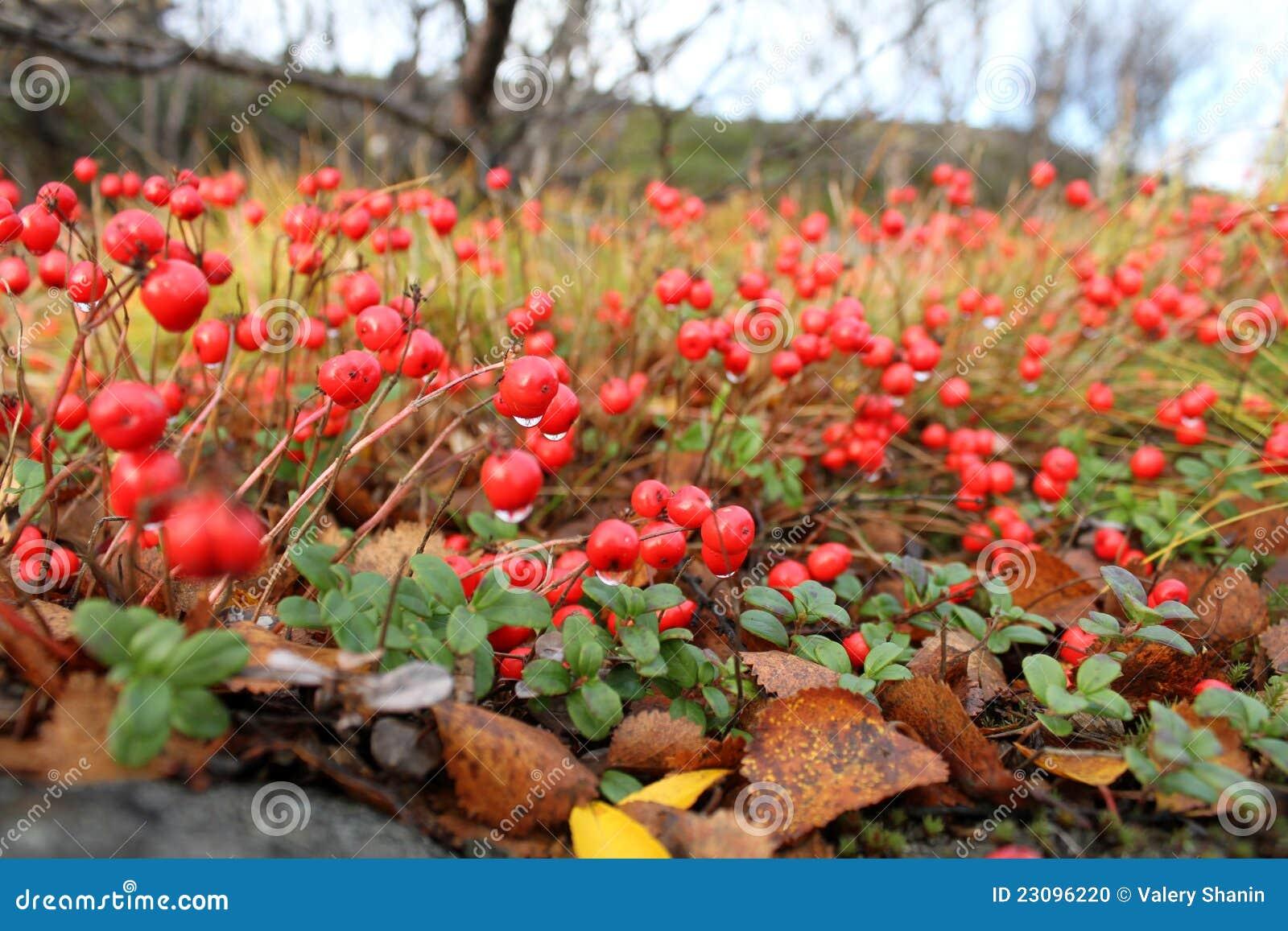 在摩尔曼斯克,俄国附近弄湿红色浆果在thenorthern山森林里.图片