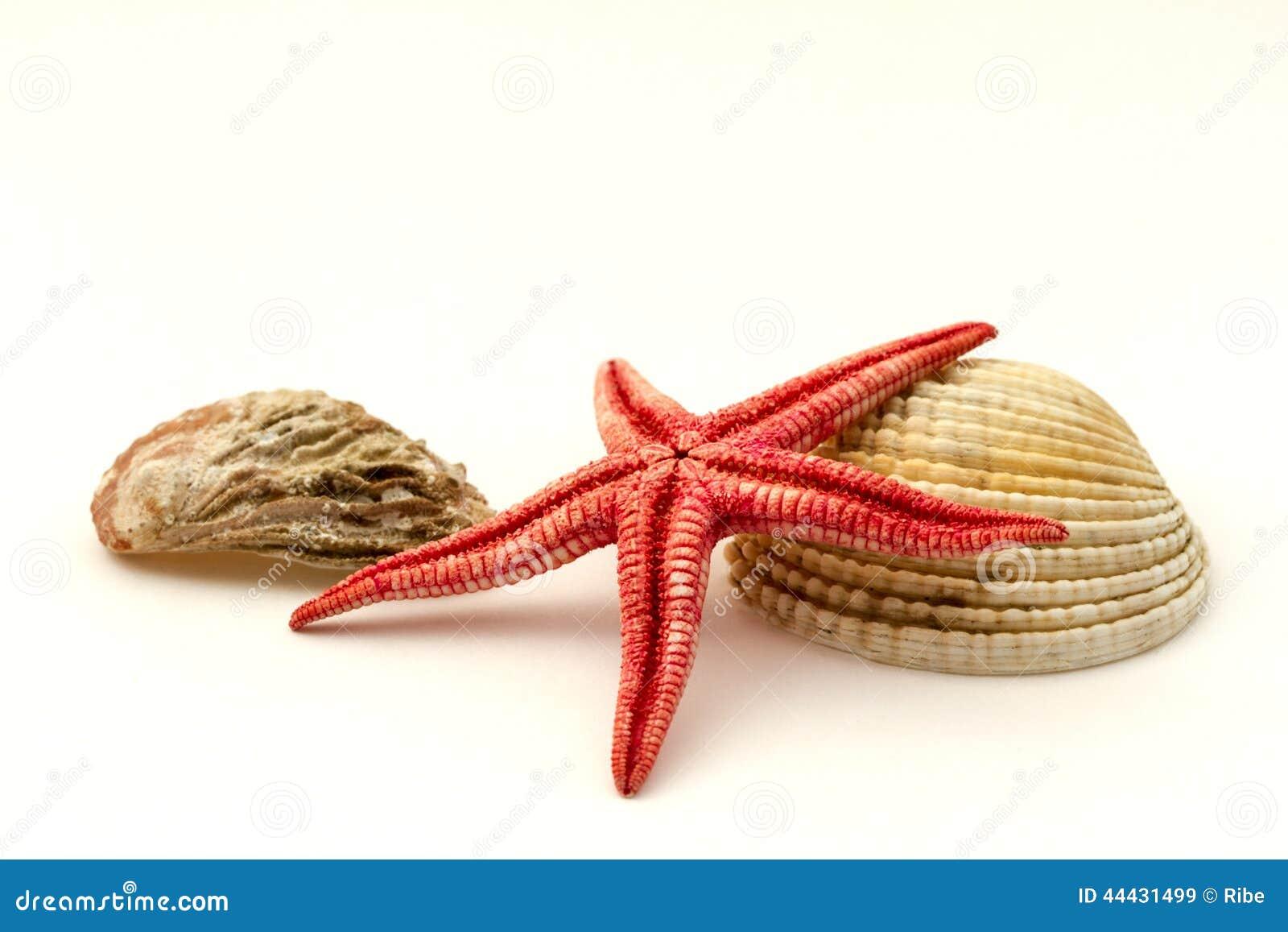 红色海星和壳