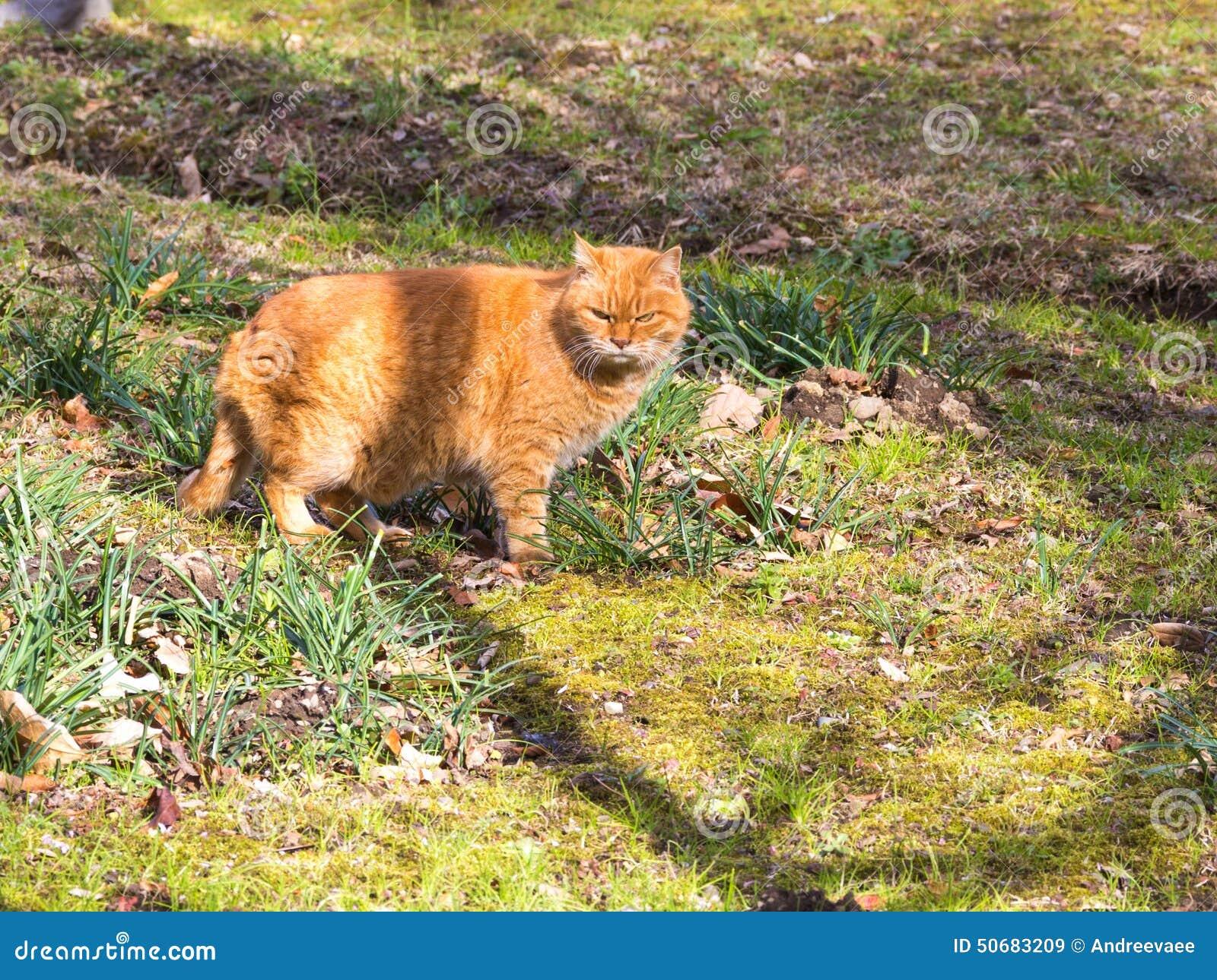 Download 红色猫 库存图片. 图片 包括有 表面, 户外, 红色, 橙色, 面部, 哺乳动物, 毛皮, 茴香, 纯血统 - 50683209