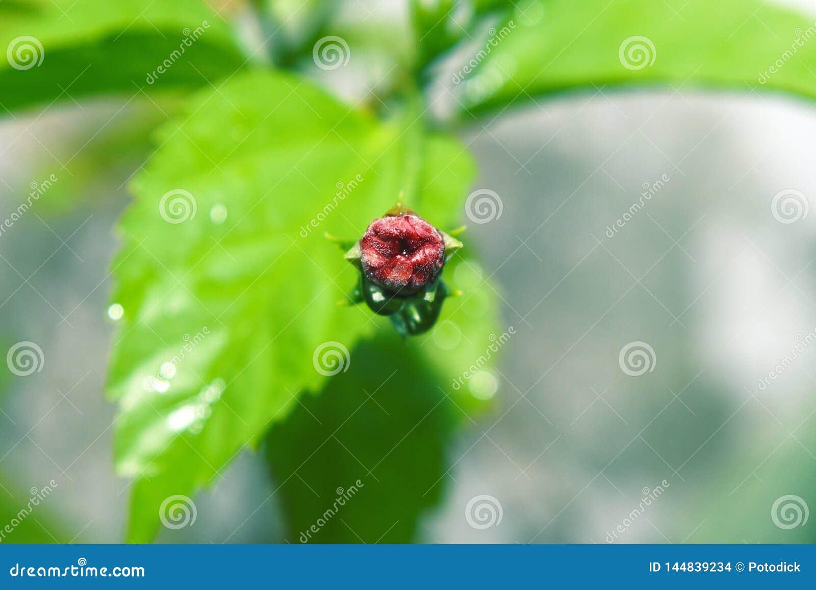 红色玫瑰发芽绽放在早晨庭院里反对