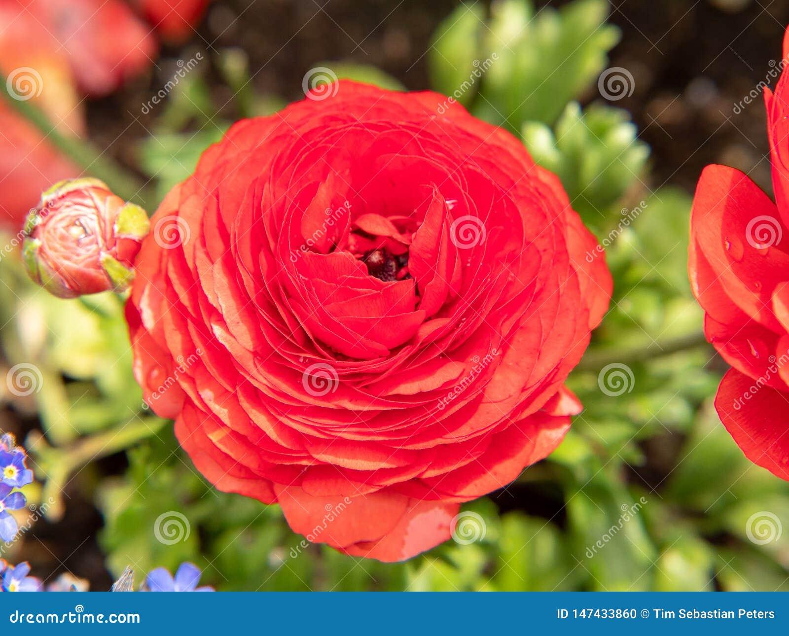 红色玫瑰在庭院里