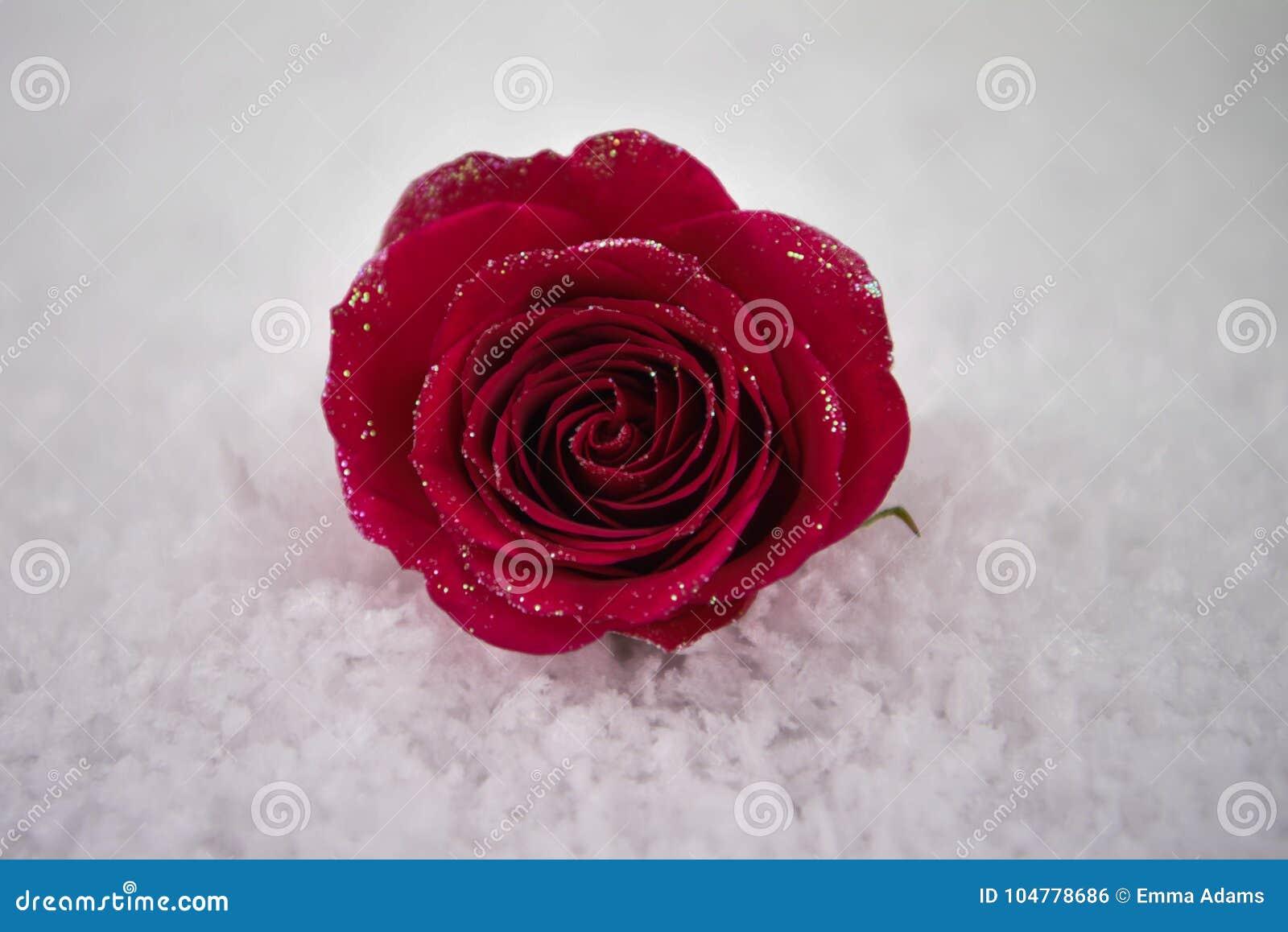 红色玫瑰的圣诞节或华伦泰浪漫冬天季节摄影图象在与闪烁瓣的雪开花