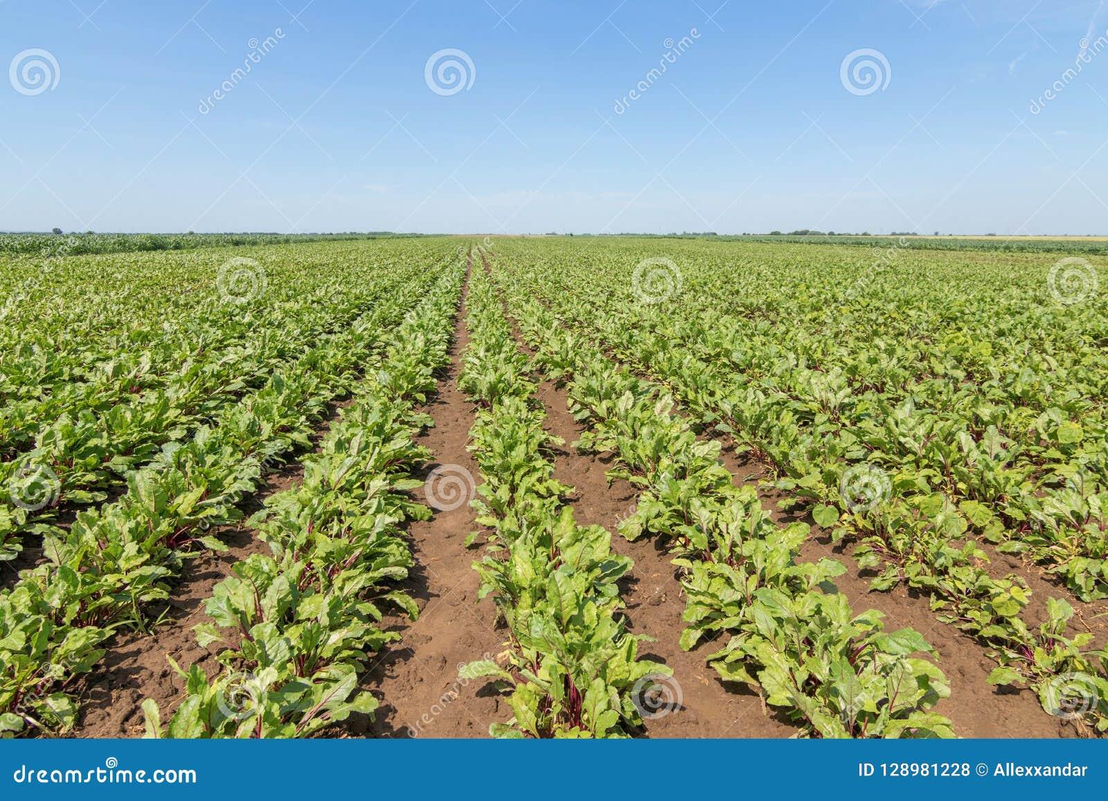 红色甜菜根的领域 年轻绿色甜菜根植物