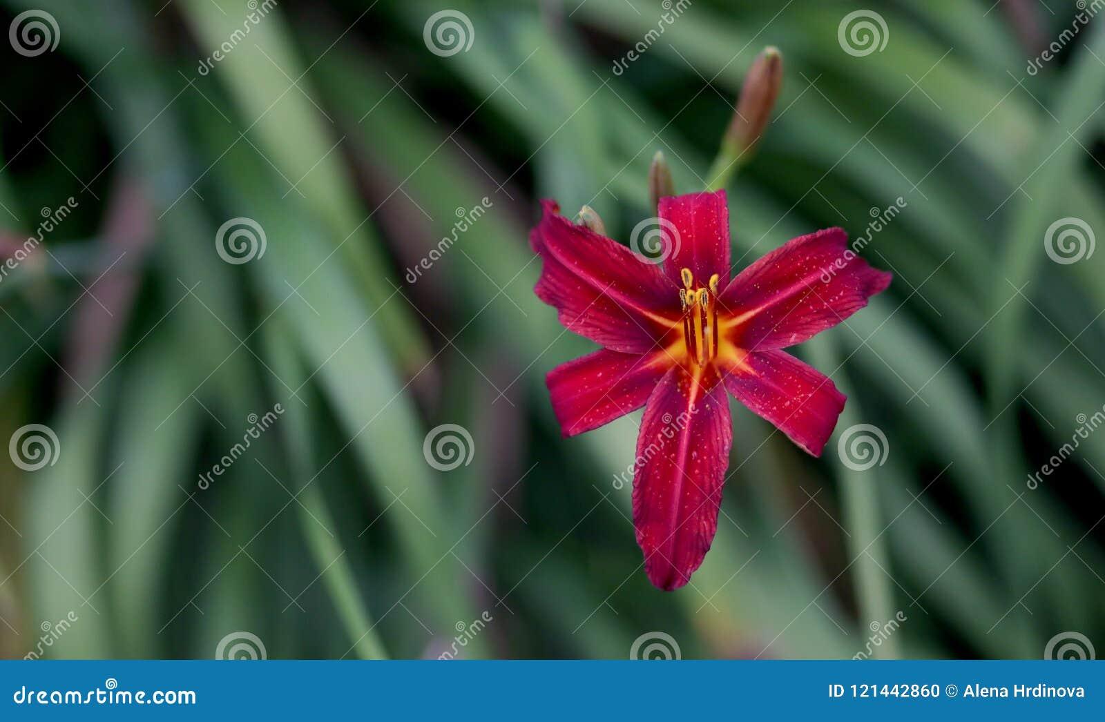 红色百合花和绿色叶子背景