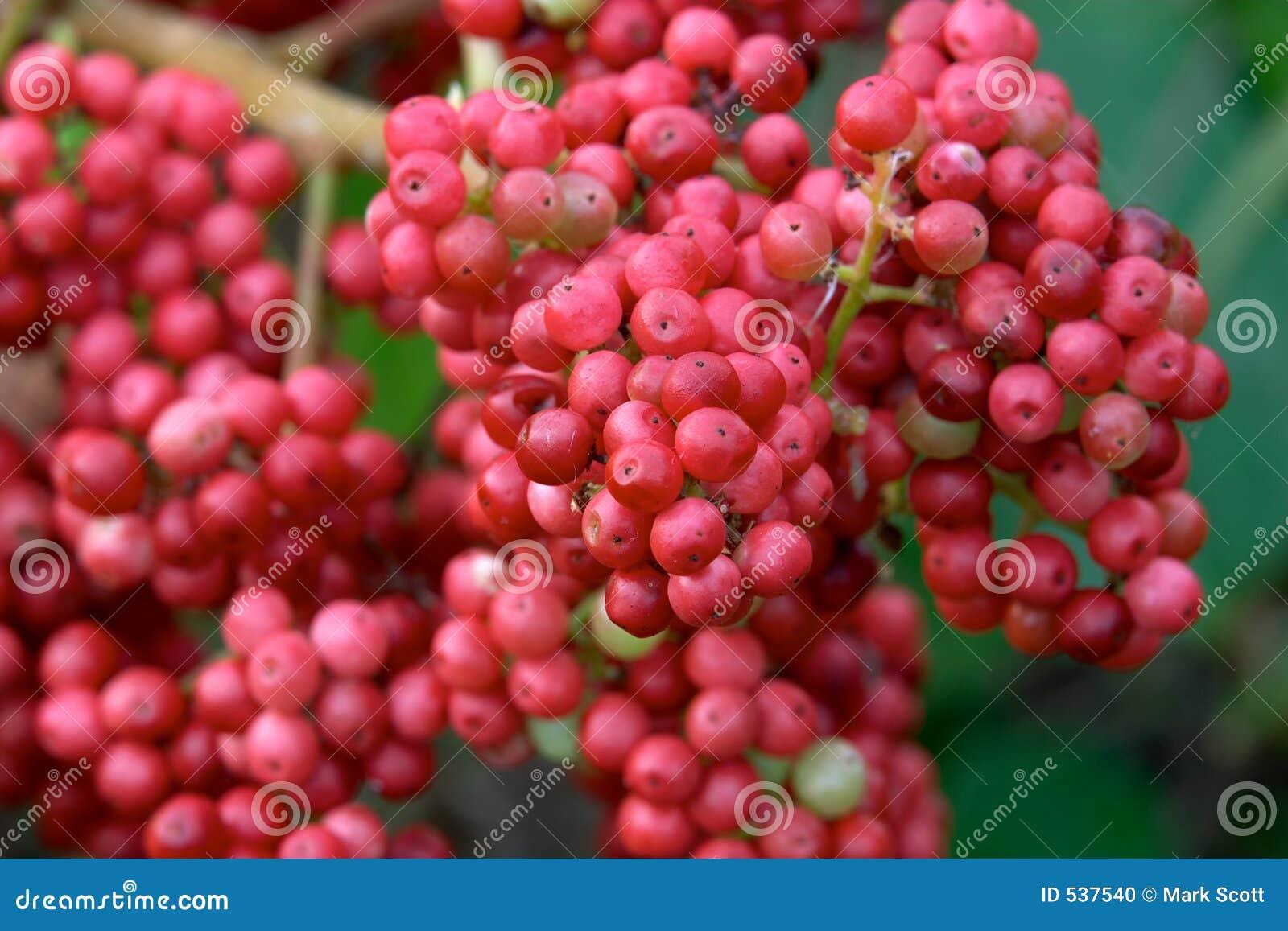 Download 红色的浆果 库存照片. 图片 包括有 春天, 自然, 红色, 圣诞节, 通配, 苦汁, 粉红色, 节假日, 猩红色 - 537540