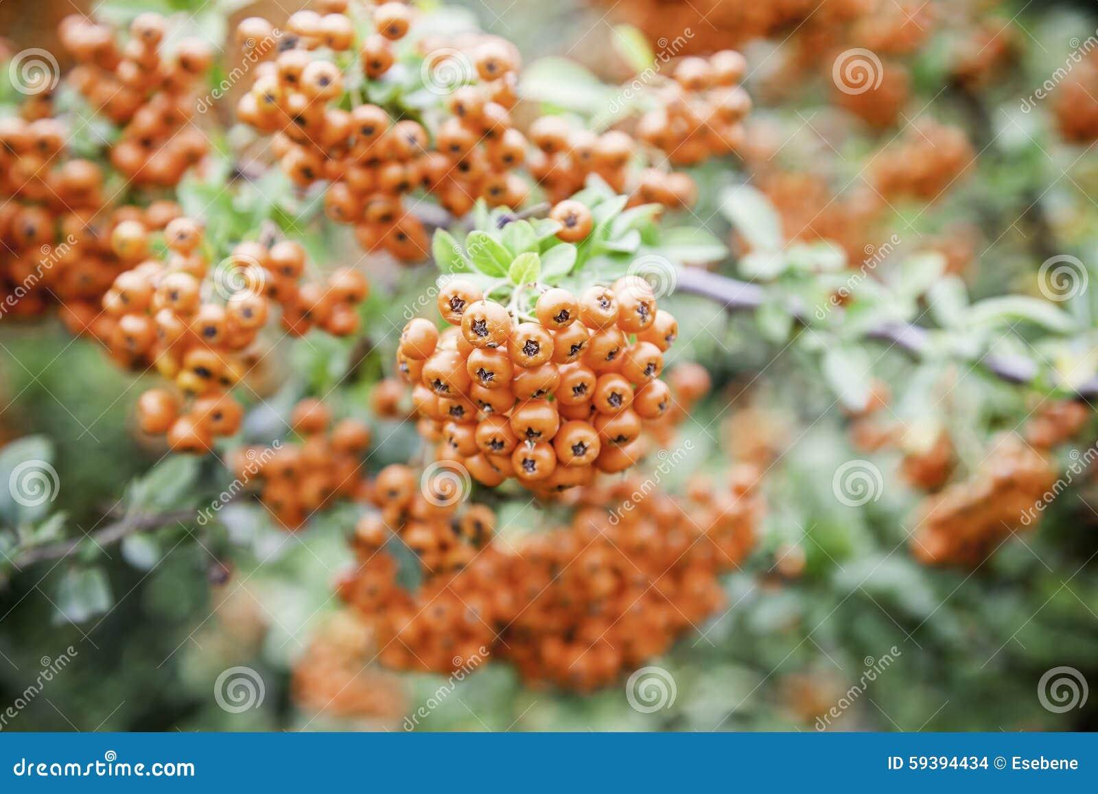 红色的浆果图片