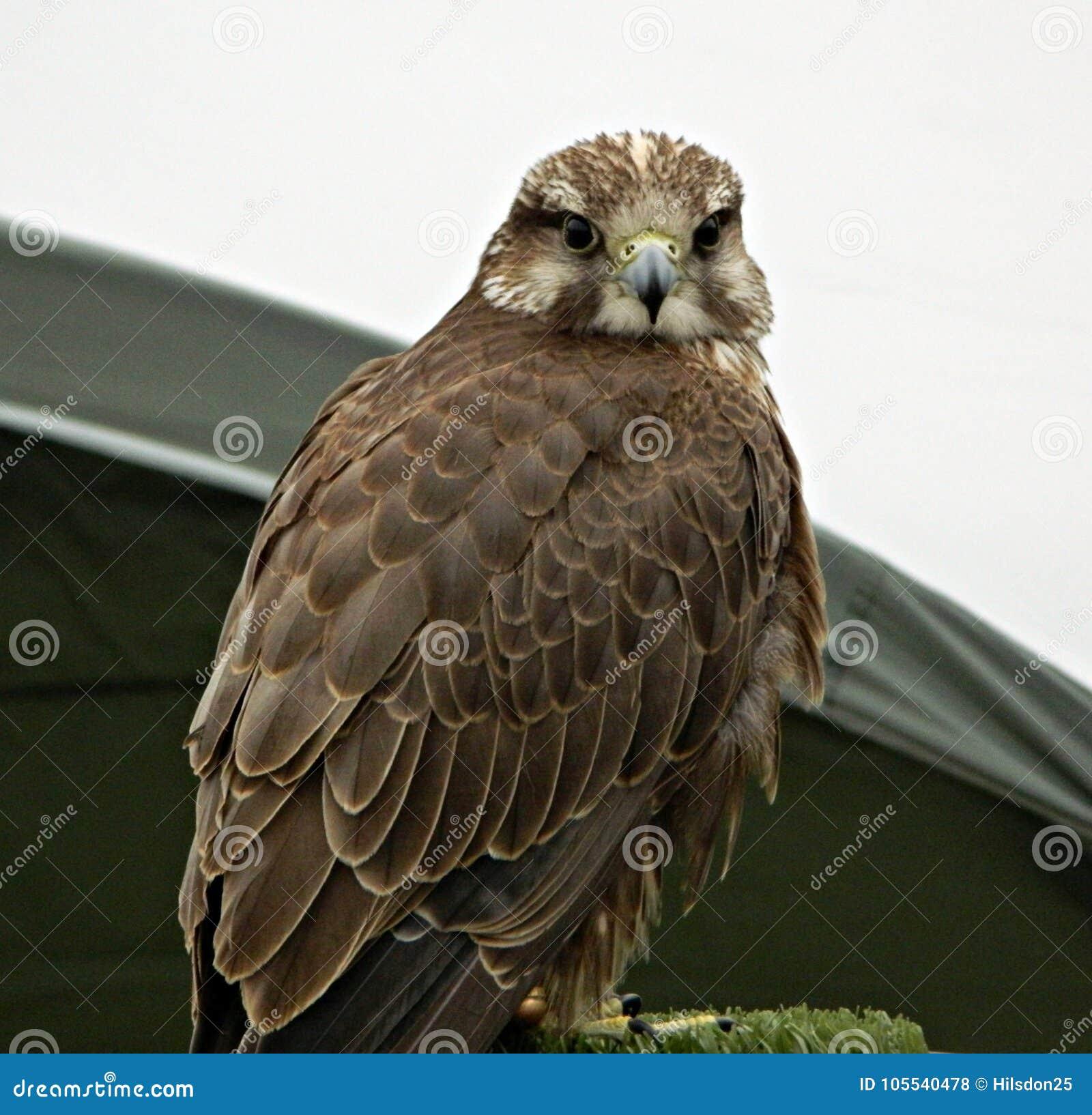 红色盯梢了为猎鹰训练术使用的鹰