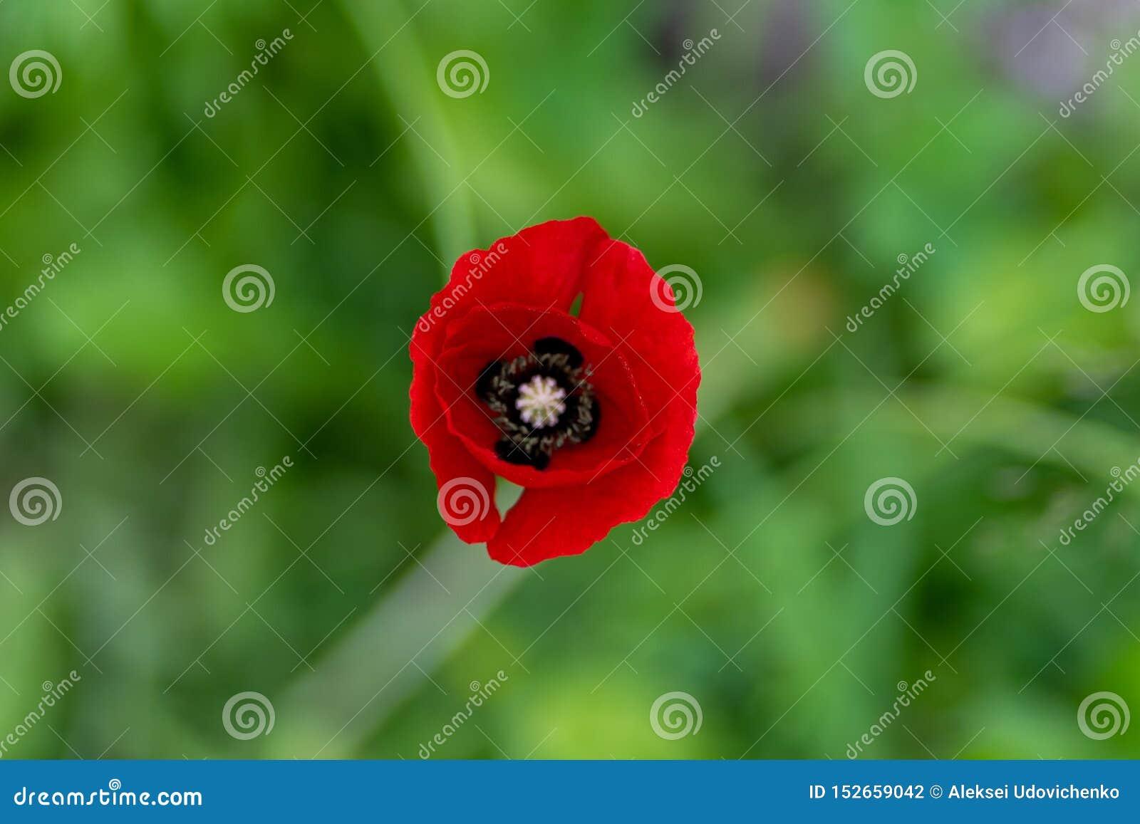 红色花宏观射击以草为背景的在软的焦点