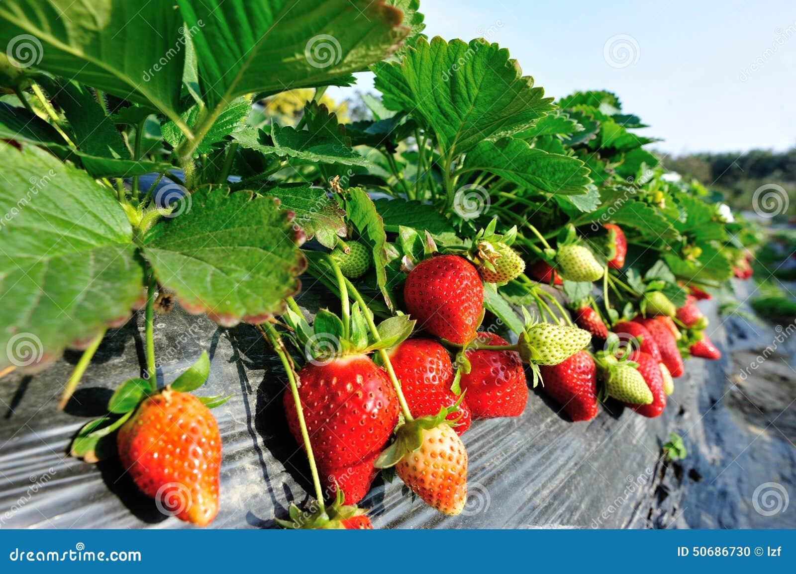 Download 红色草莓果子 库存照片. 图片 包括有 庄稼, 问题的, 草莓, 庭院, 本质, 复制, 有机, 没人, 红色 - 50686730