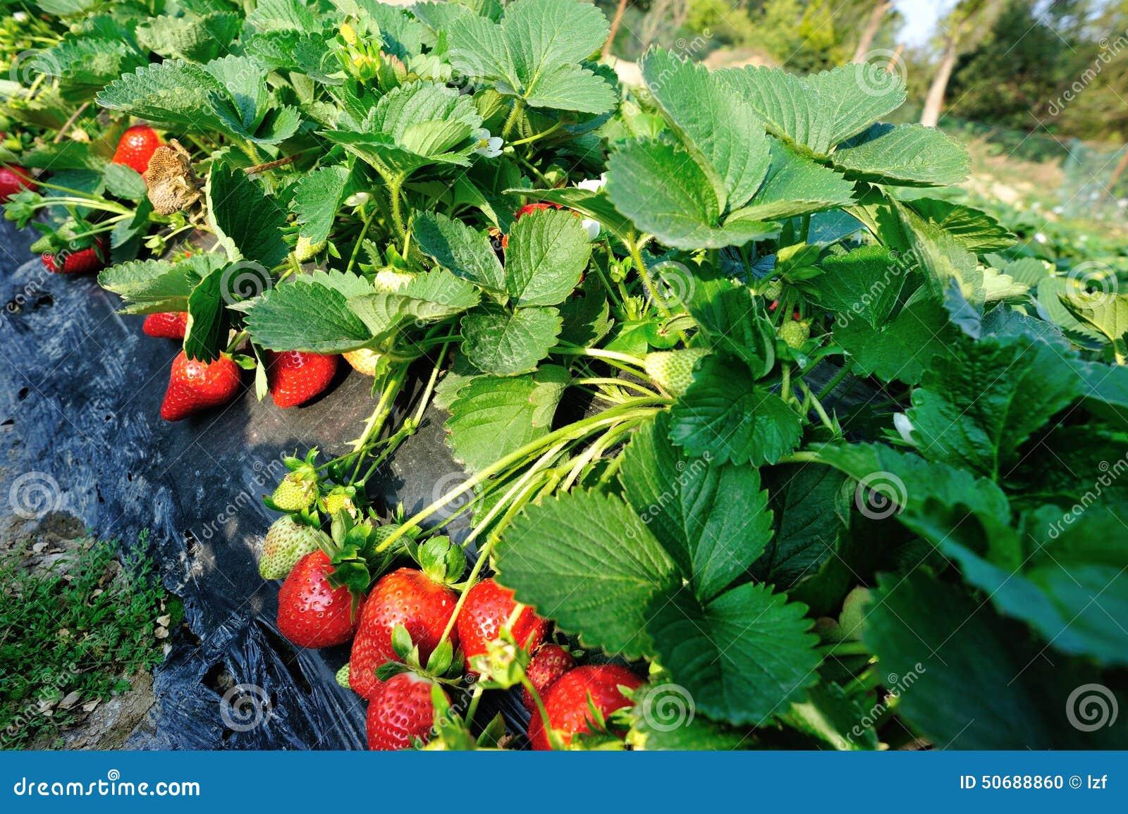 Download 红色草莓果子 库存照片. 图片 包括有 天空, 醉汉, 空白, 叶子, 工厂, 蓝色, 草莓, 空间, 没人 - 50688860