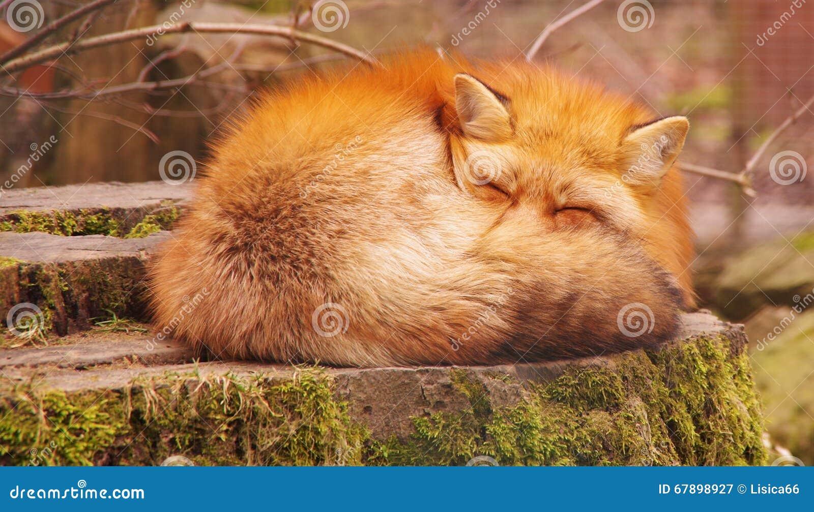 红色蓬松狐狸睡眠