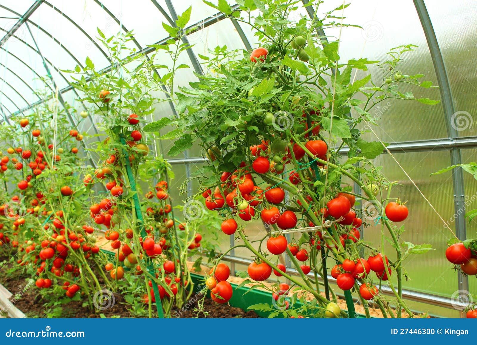 红色蕃茄自温室