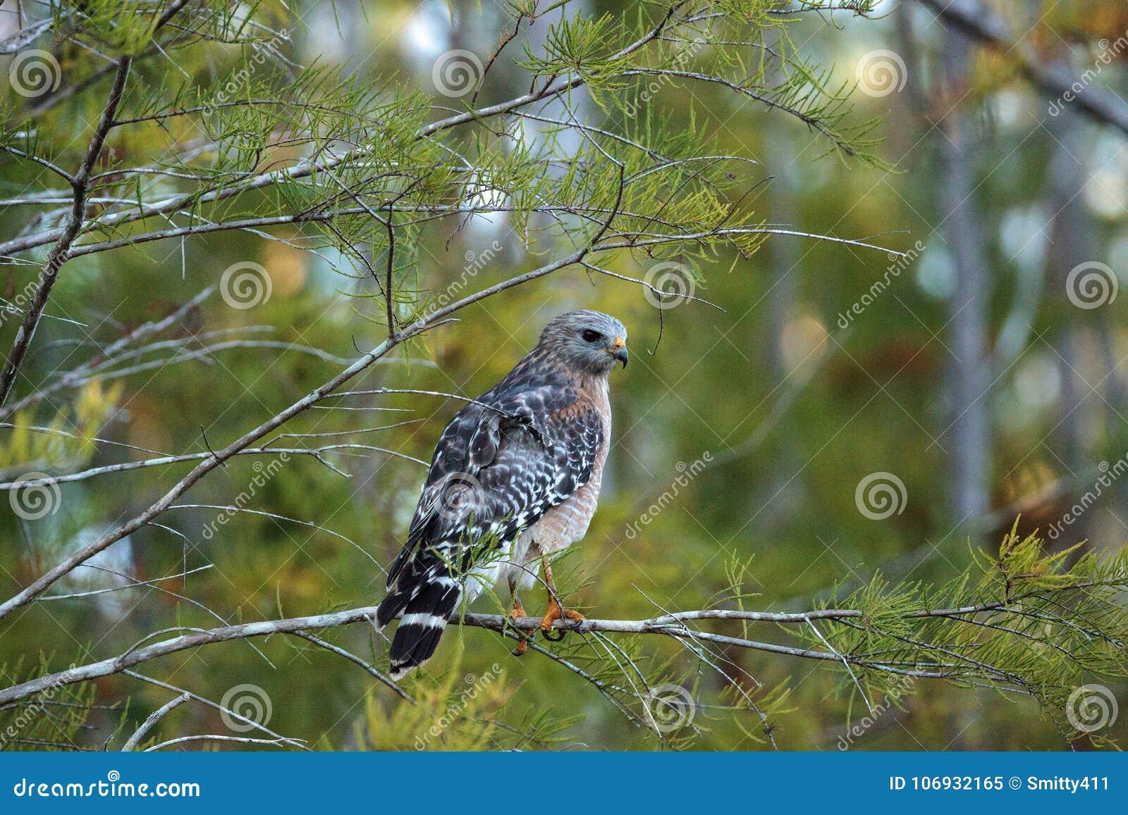 红色被担负的鹰鵟鸟lineatus寻找牺牲者