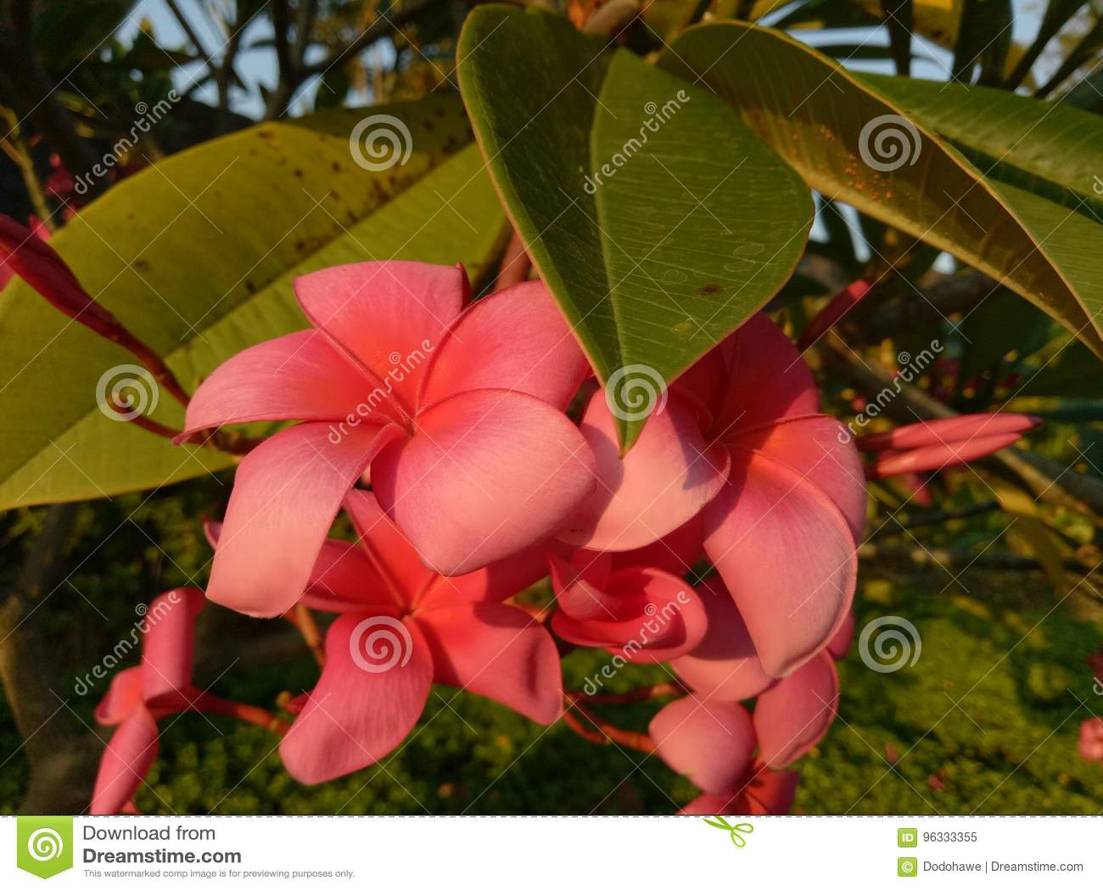 红色赤素馨花在住宅Pondok Candra, Sidoarjo,印度尼西亚复合体开花