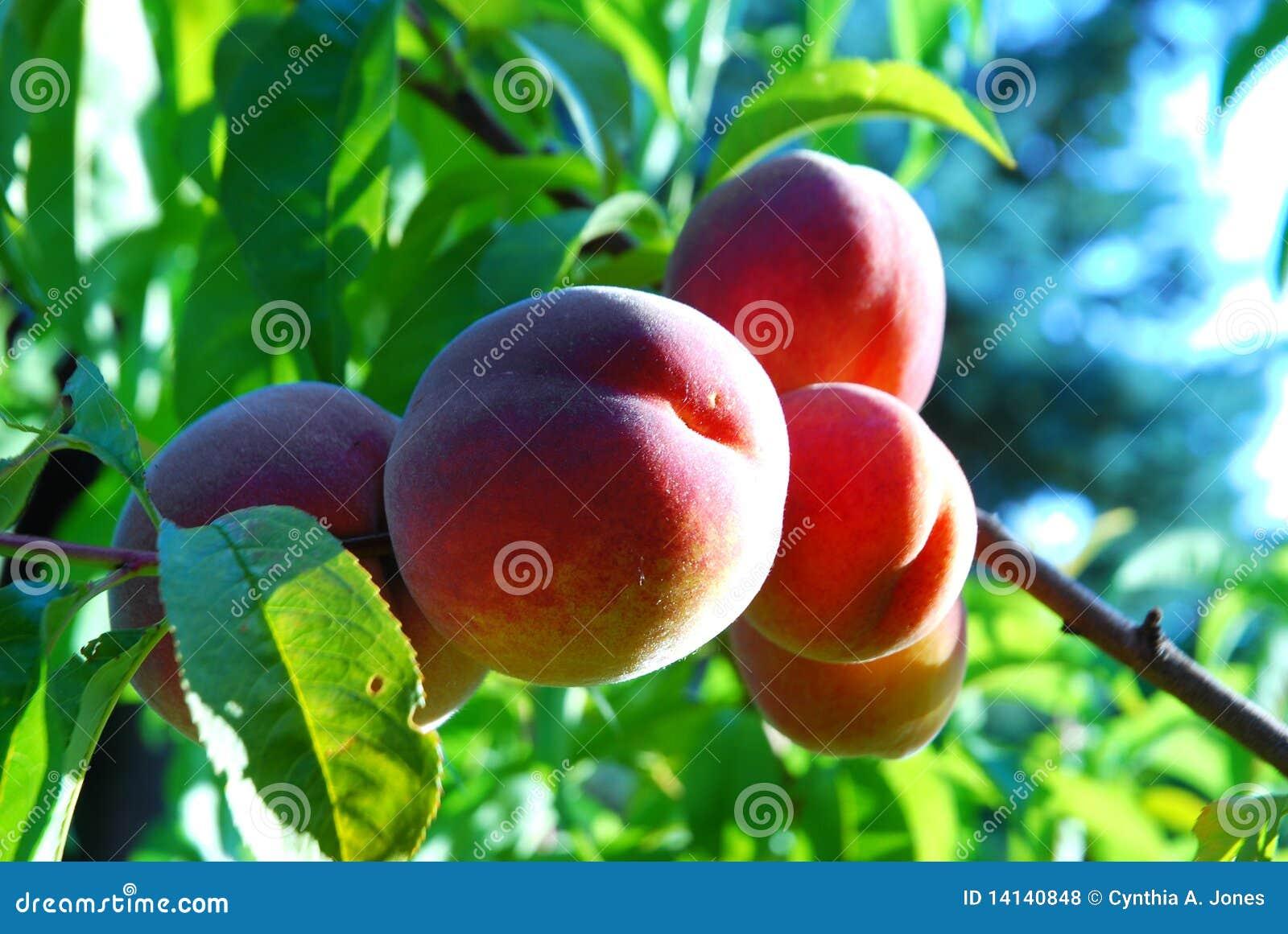 红色避风港的桃子