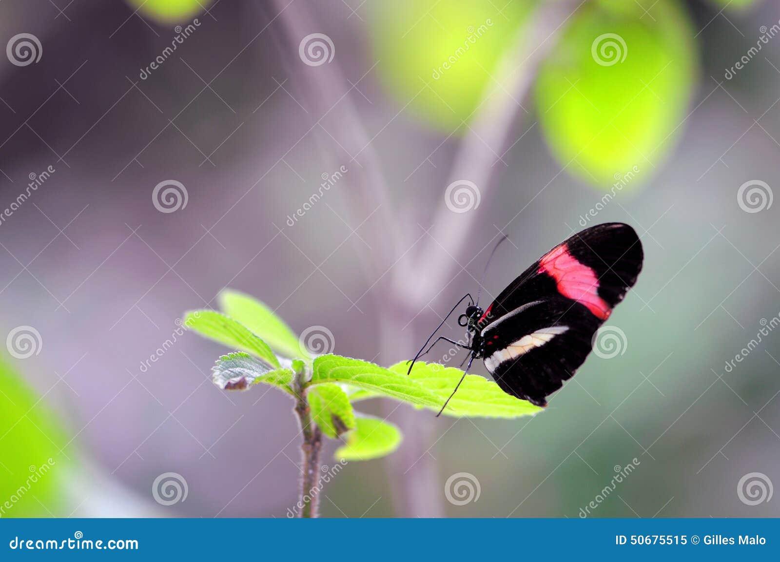 Download 红色邮差(Heliconius)蝴蝶 库存图片. 图片 包括有 投反对票, 亚热带, 立场, 蓝蓝, 佛罗里达 - 50675515