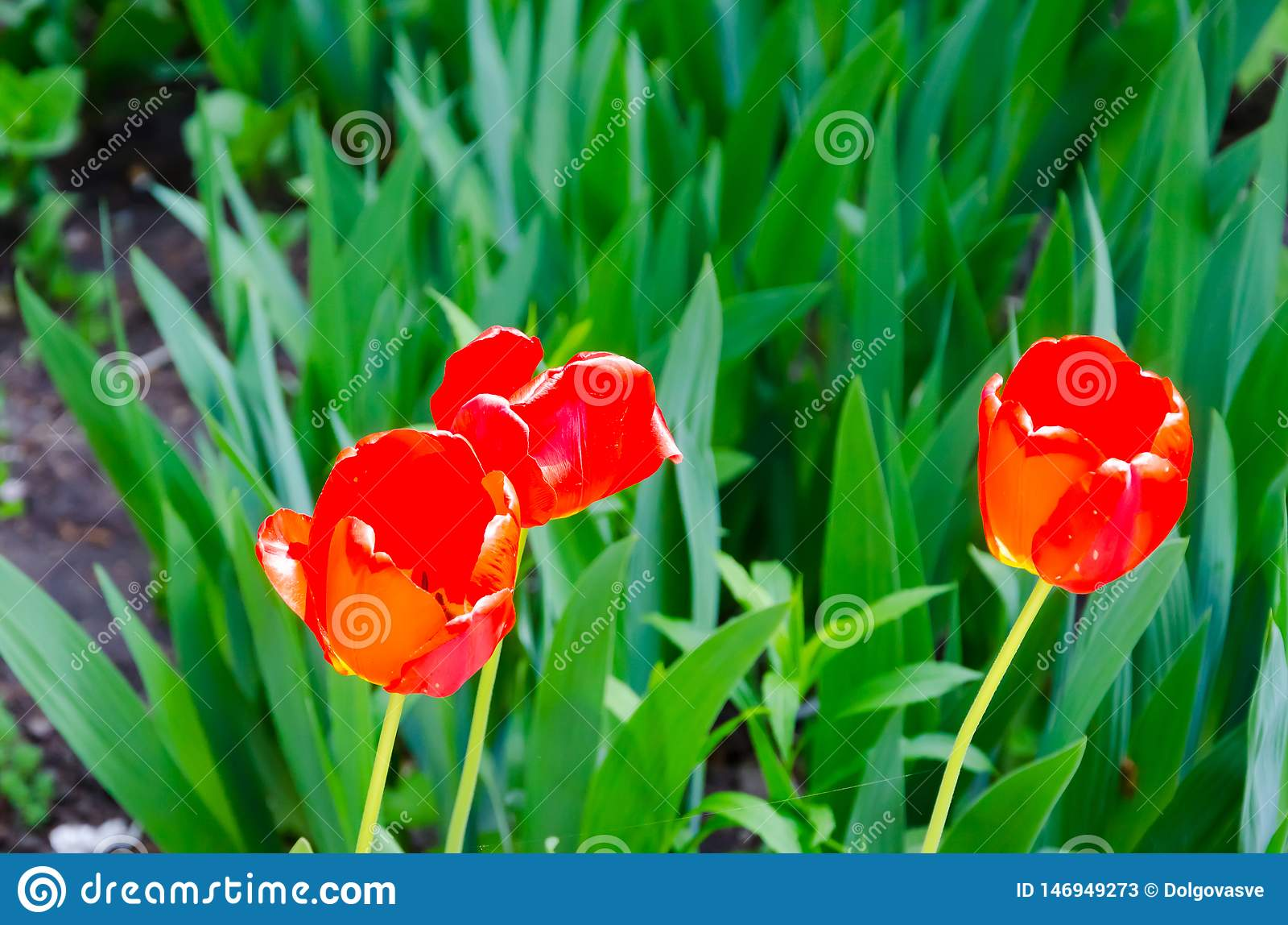 红色郁金香花有绿色叶子和草背景