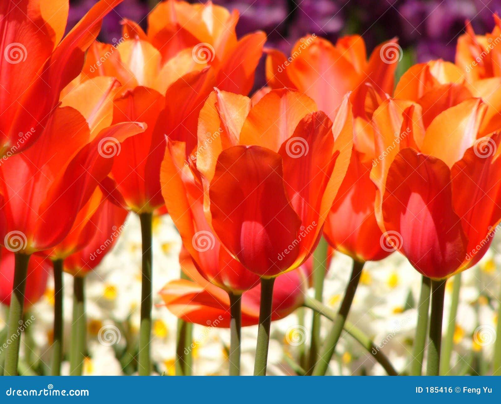 Download 红色郁金香 库存照片. 图片 包括有 庭院, 工厂, beauvoir, 增长, 词根, 颜色, 红色, 郁金香 - 185416