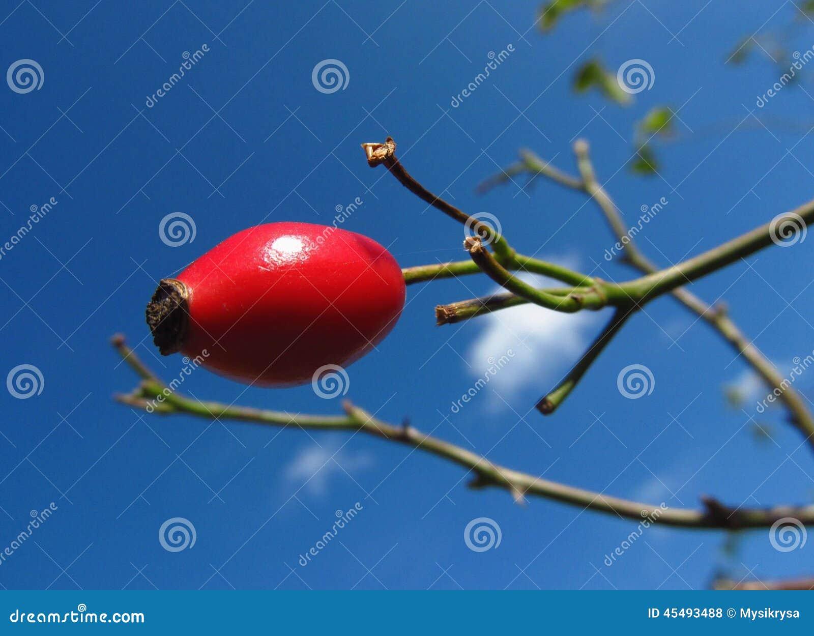 红色野玫瑰果和蓝天