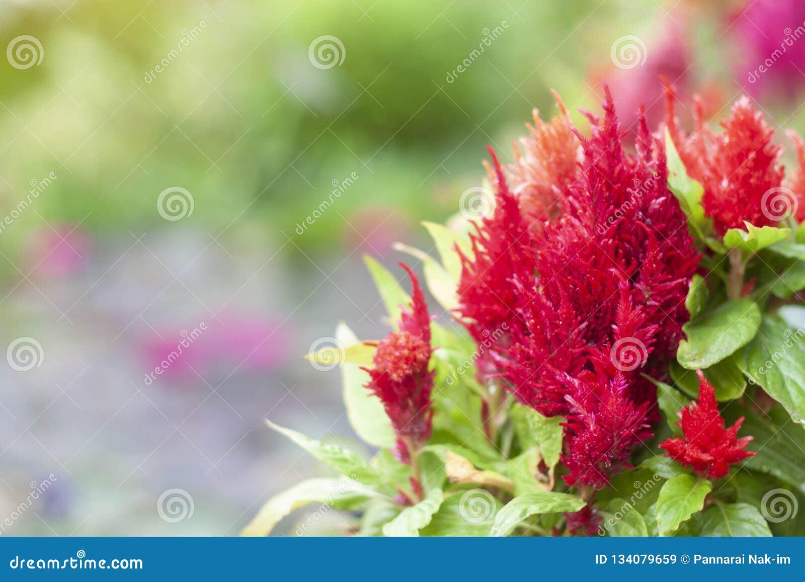 红色鸡冠花Plumosa,与空间的城堡系列在庭院里