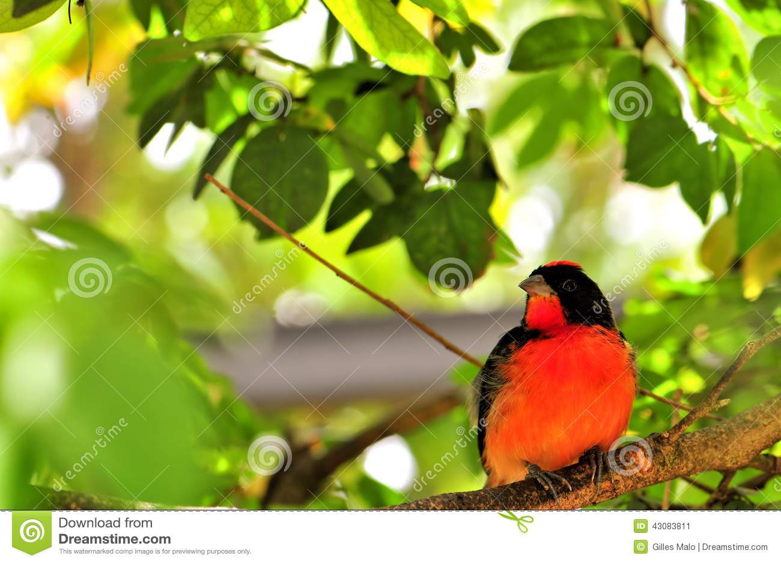 绯红色breasted雀科鸟在鸟舍,佛罗里达