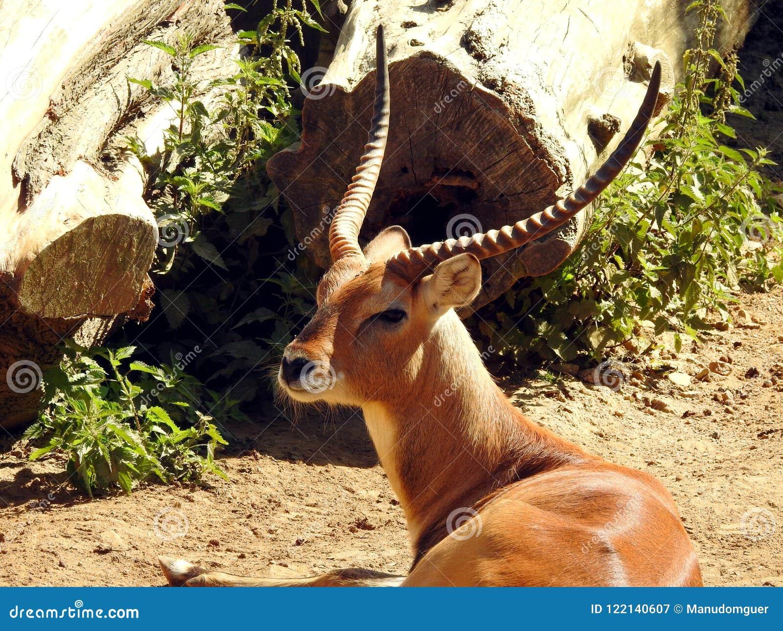 红色Lechwe羚羊
