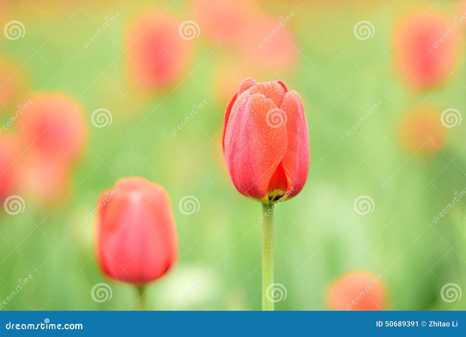 Download 红色Tulipses 库存图片. 图片 包括有 采取, 2月, 颜色, 红色, beautifuler, 绿色 - 50689391