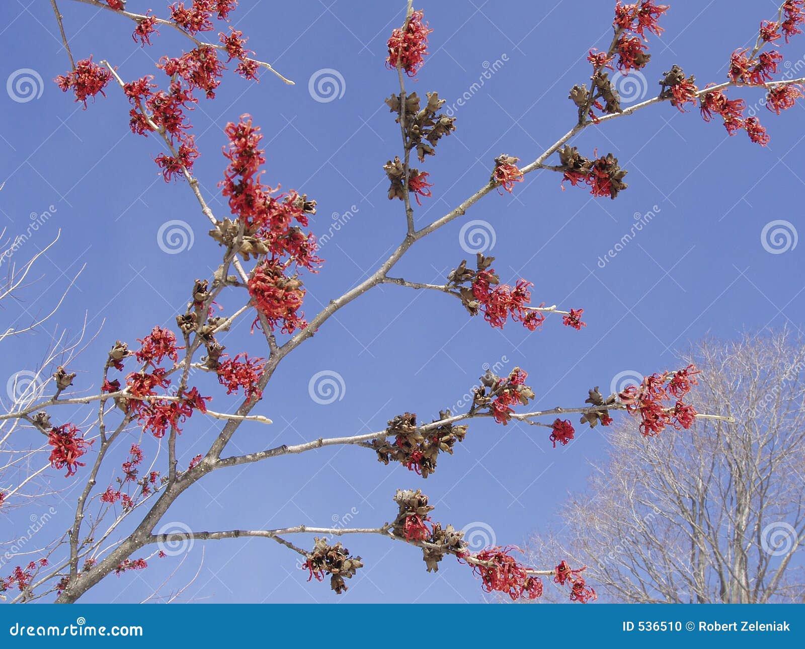 Download 红色witchhazel 库存照片. 图片 包括有 ,并且, 蓝色, 工厂, 灌木, 天空, 结构树, 红色 - 536510
