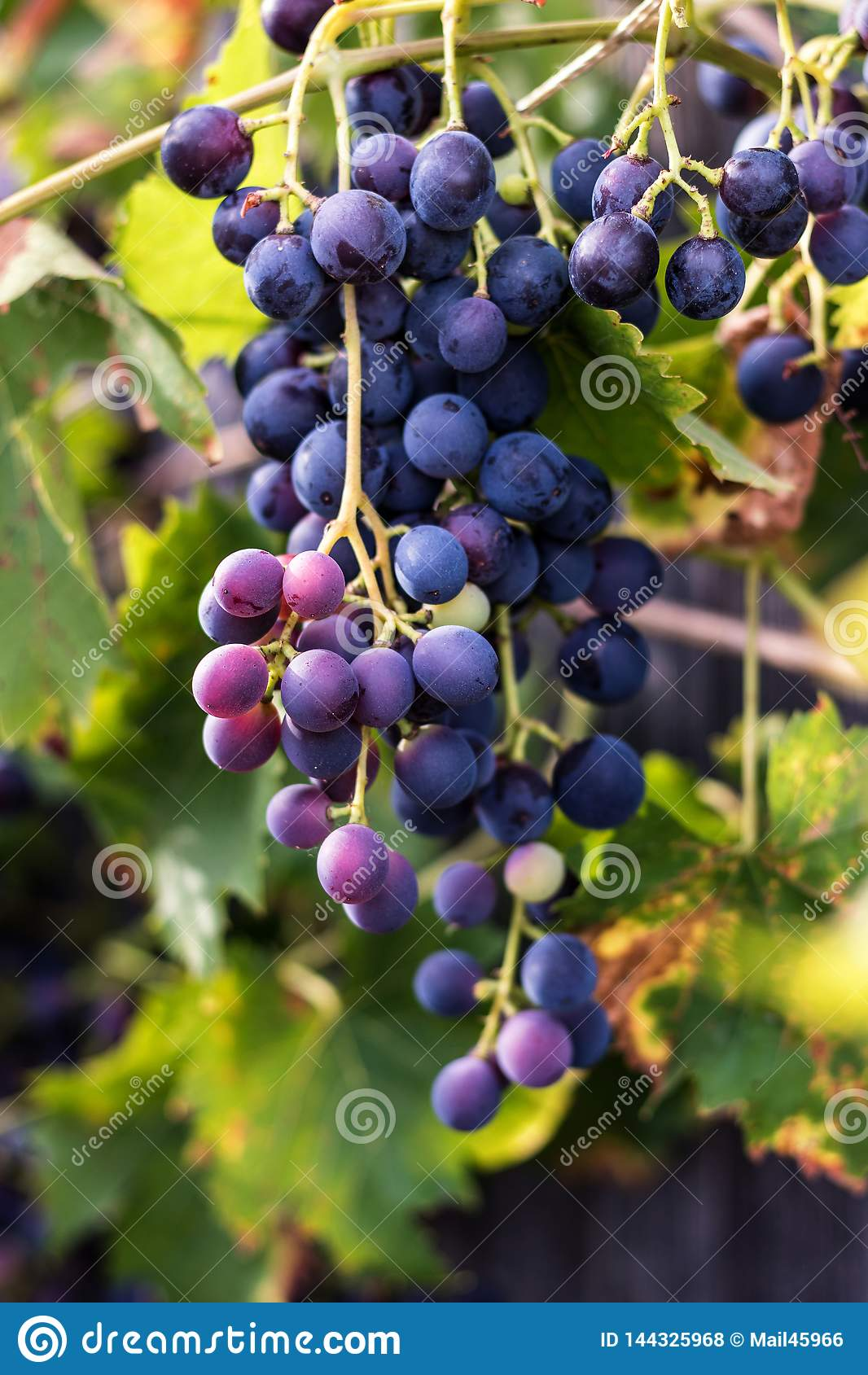 红葡萄,葡萄树