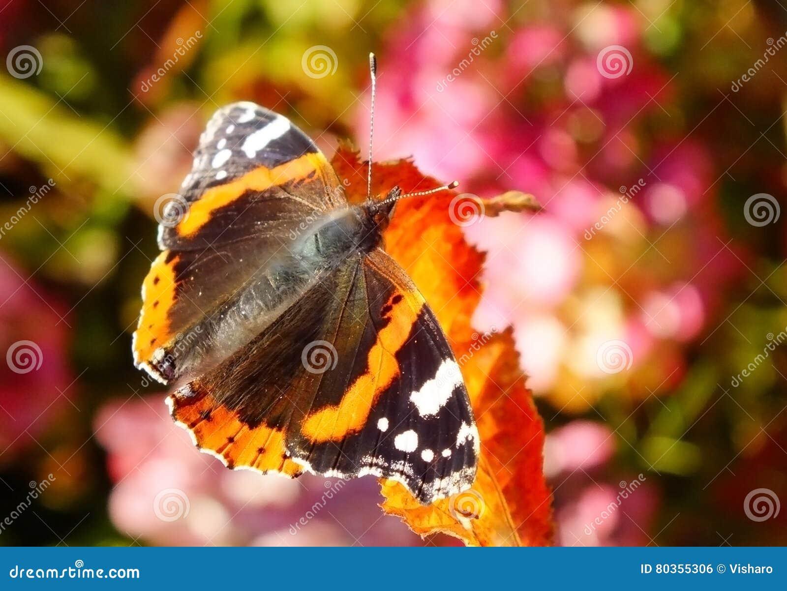 红蛱蝶蝴蝶