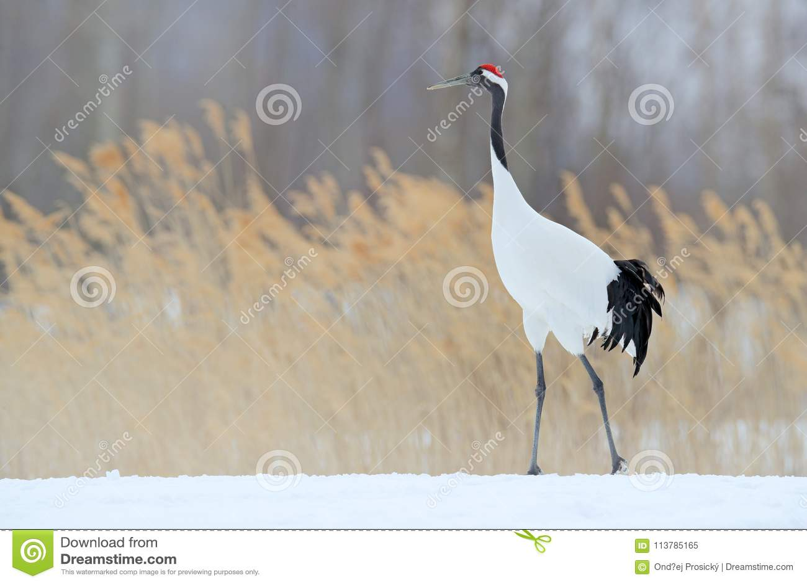红被加冠的起重机在雪草甸,有雪风暴的,北海道,日本 走在雪的鸟 起重机舞蹈本质上 野生生物场面f