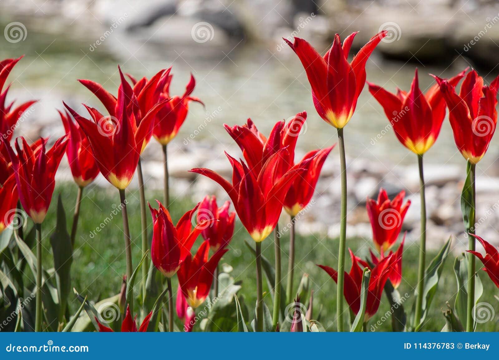 红颜色郁金香花在庭院里