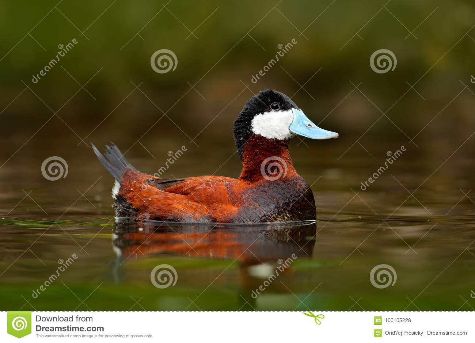 红鸭子,氧化尿嘧啶jamaicensis,与美丽绿色和红色上色了水表面 棕色鸭子男性与蓝色票据的 野生生物s