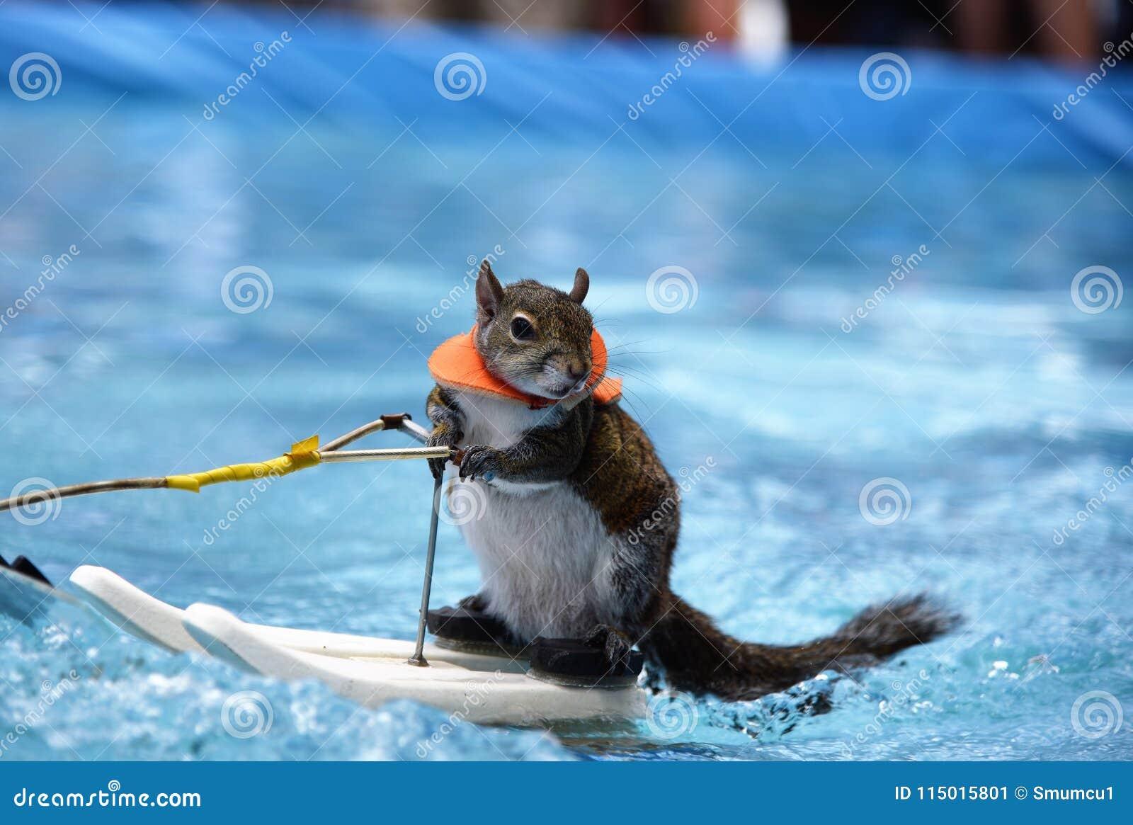 纤细灰鼠摆在,当滑水竞赛时