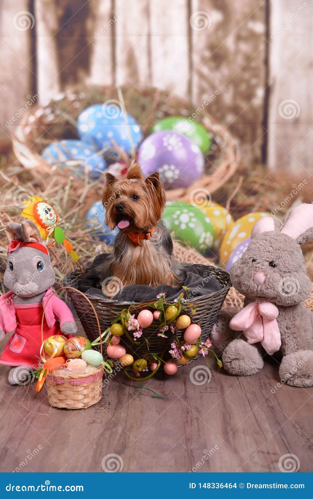 约克夏狗尼基,复活节兔子真正地是