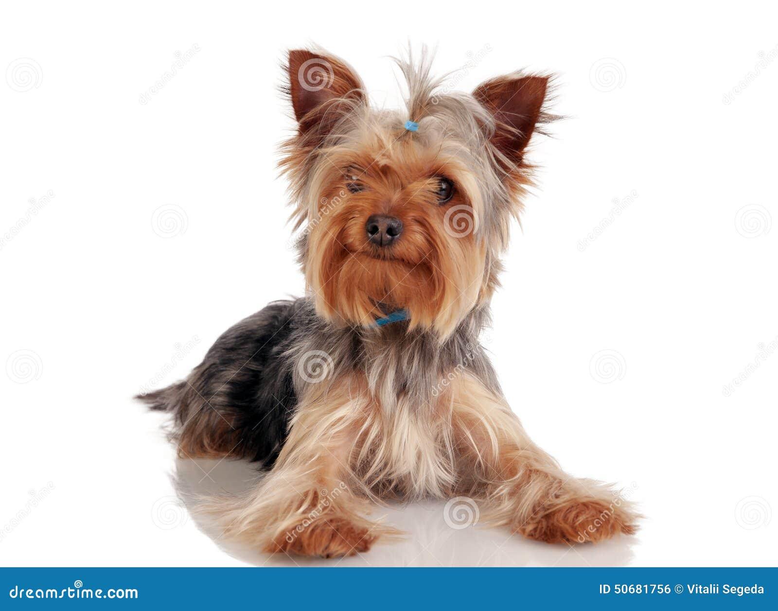 Download 约克夏狗 库存照片. 图片 包括有 查出, 国内, 室内, 背包, 敌意, 少许, 幸福, 纵向, 宠物 - 50681756