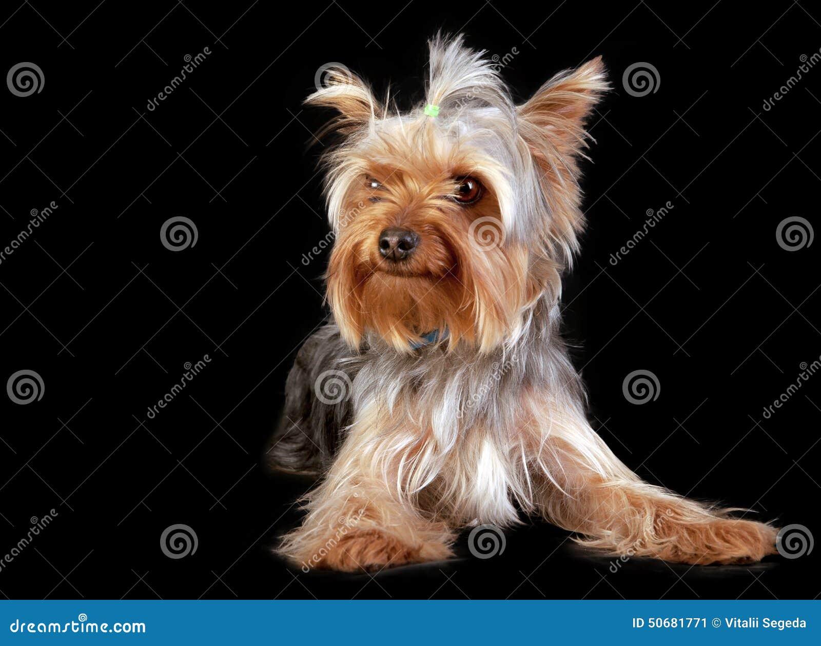 Download 约克夏狗 库存图片. 图片 包括有 beauvoir, 鼻子, browne, 纵向, 家谱, 眼睛, 国内 - 50681771