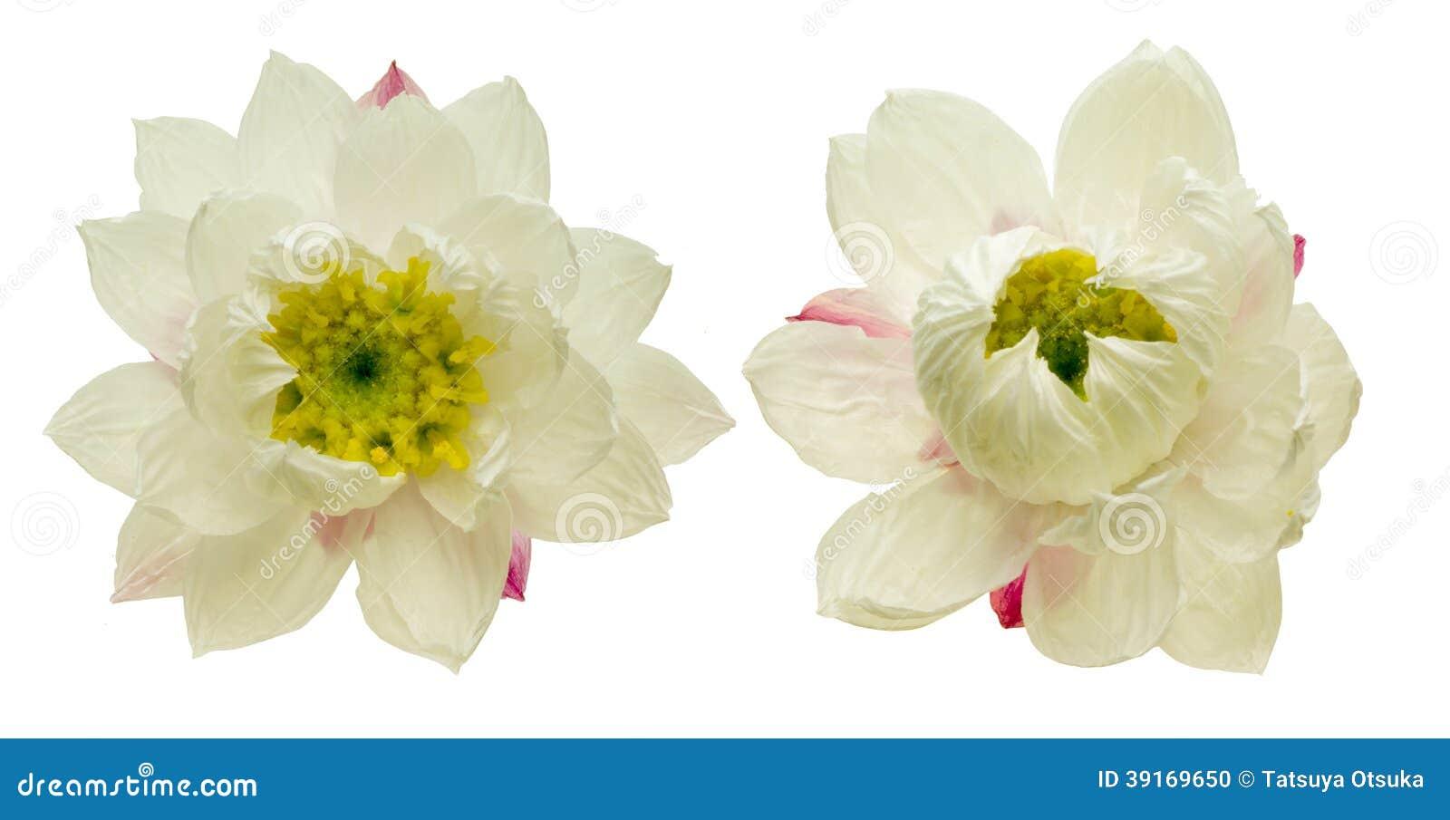 纸雏菊头状花序
