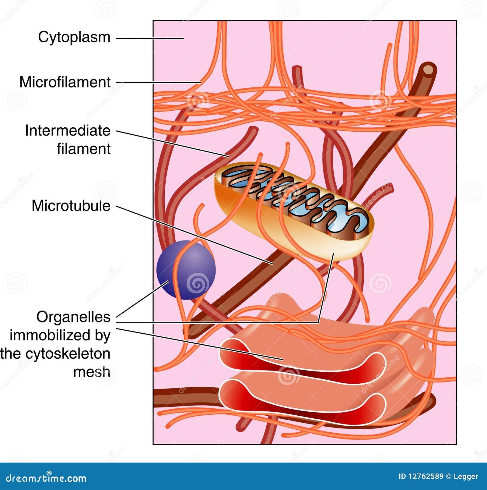 细胞骨架图片