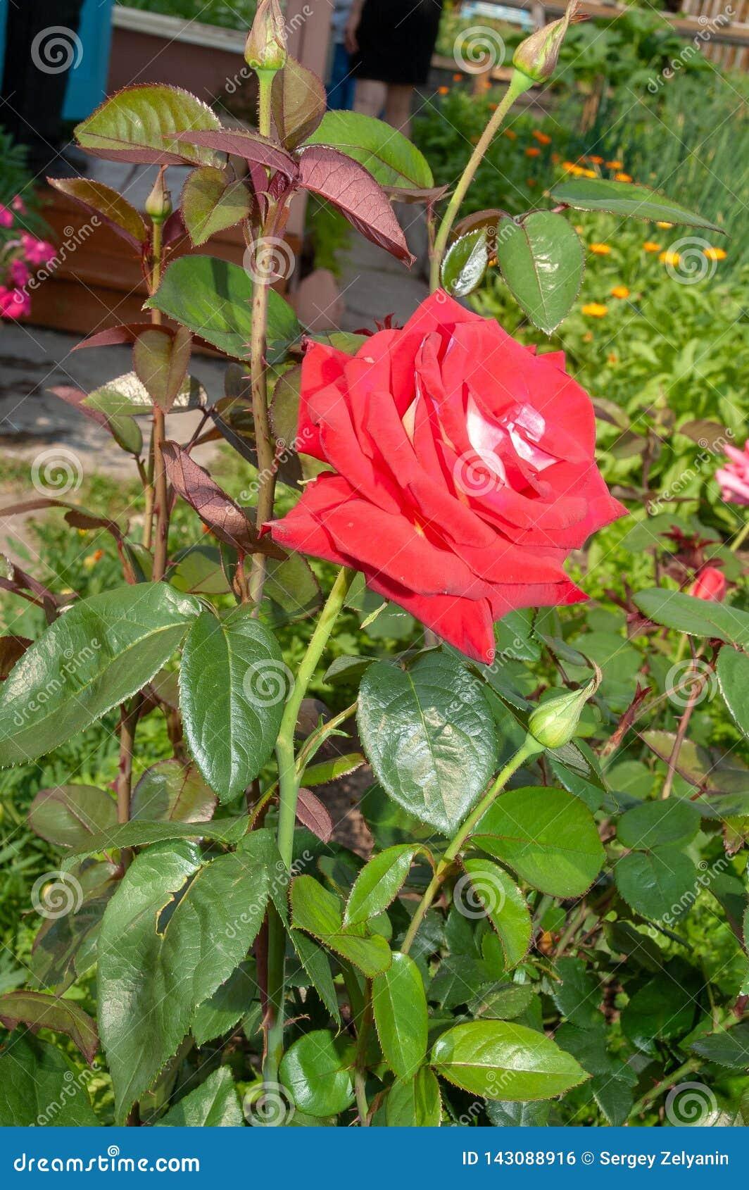 经典大红色玫瑰在一个土气夏天庭院里