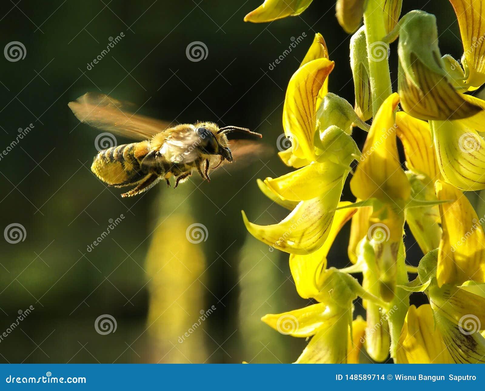 结冰蜂蜜的蜂-采取花蜜