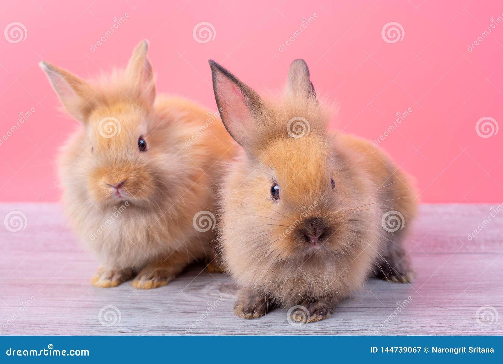 结合小浅褐色的逗人喜爱的小兔停留在灰色木桌上有桃红色背景