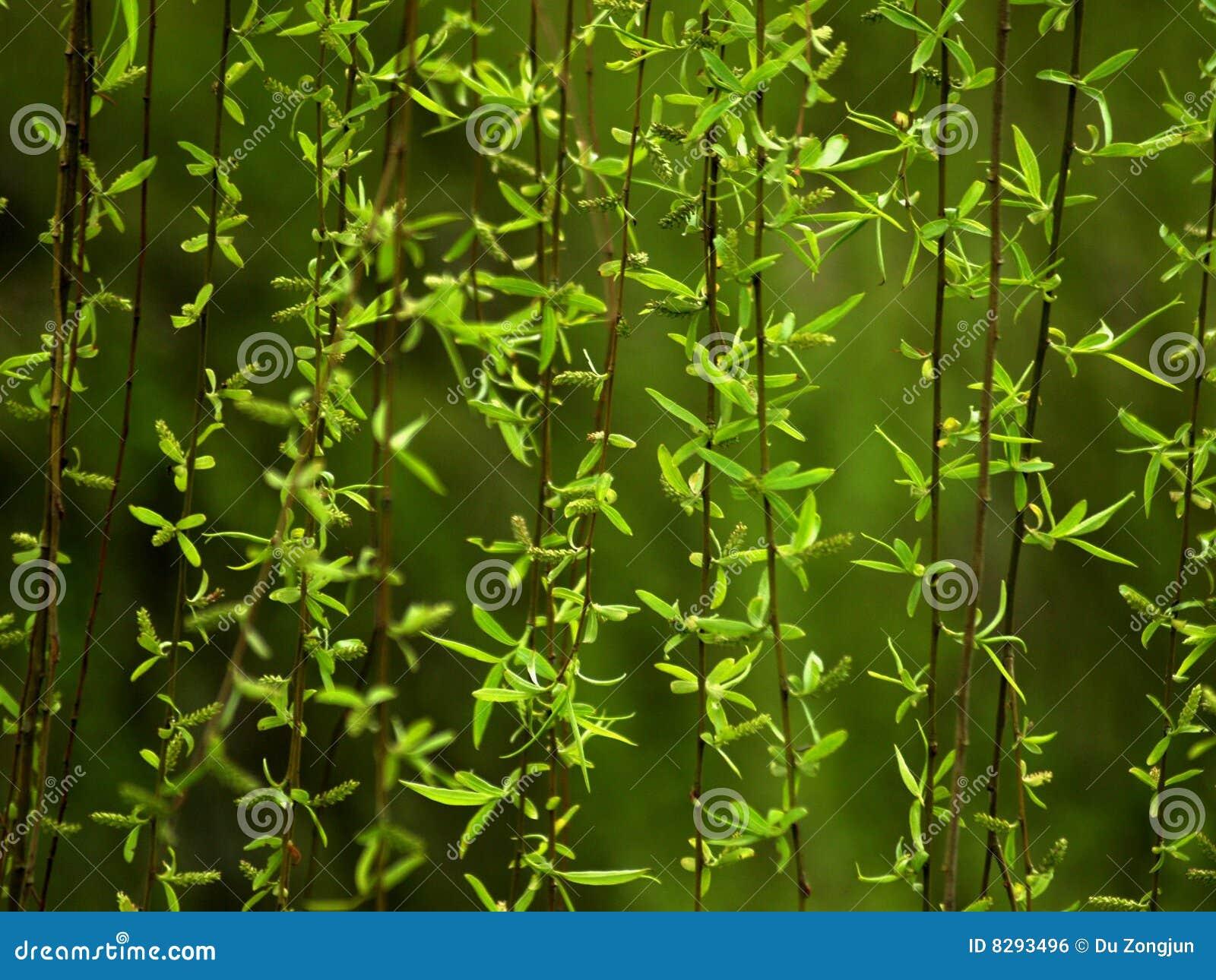 结构树垂柳