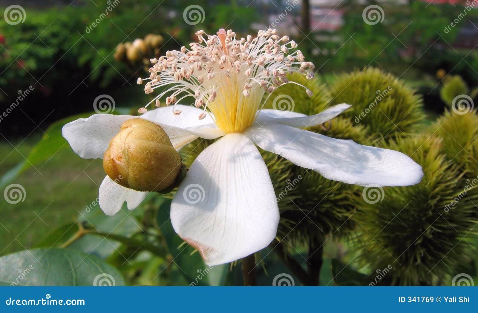 绛珠子花结构树