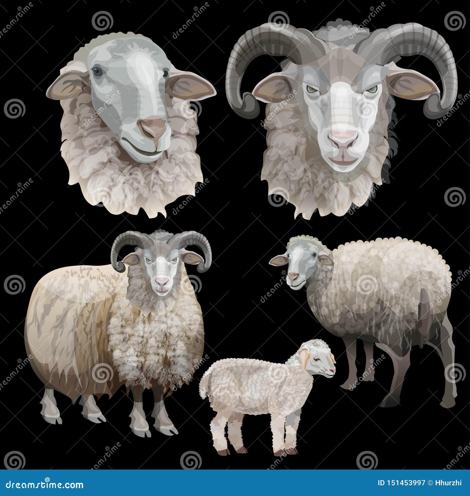 绵羊集合传染媒介